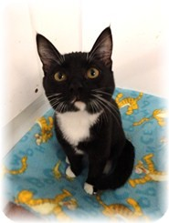 Domestic Shorthair Kitten for adoption in Shelton, Washington - Lil Bit