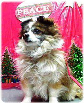 Pomeranian/Chihuahua Mix Dog for adoption in Vista, California - Merlin