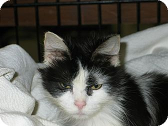 Domestic Mediumhair Cat for adoption in West Dundee, Illinois - Betsy