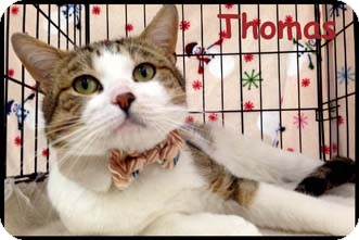 Domestic Shorthair Cat for adoption in Merrifield, Virginia - Thomas