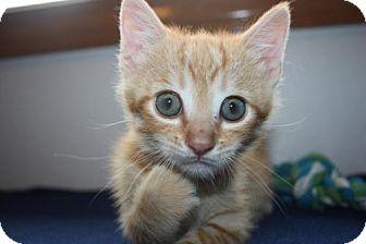 Domestic Mediumhair Kitten for adoption in Stilwell, Oklahoma - Cinnamon