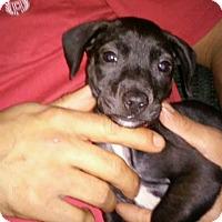 Adopt A Pet :: Dina - San Antonio, TX