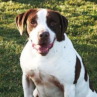 Pit Bull Terrier/Hound (Unknown Type) Mix Dog for adoption in Stockton, California - Austin