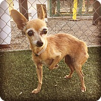 Chihuahua/Terrier (Unknown Type, Small) Mix Dog for adoption in Studio City, California - Elfie