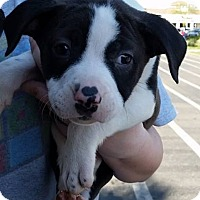 Adopt A Pet :: Panda Bear - Gainesville, FL