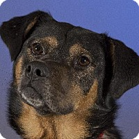 German Shepherd Dog/Boxer Mix Dog for adoption in Dodson, Montana - Capone