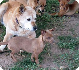 Dachshund/Miniature Pinscher Mix Dog for adoption in Peralta, New Mexico - **DAWN- Very loyal and playful once she trusts