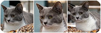 Domestic Shorthair Cat for adoption in Forked River, New Jersey - Violet