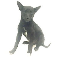 Border Collie Mix Dog for adoption in Show Low, Arizona - Lee