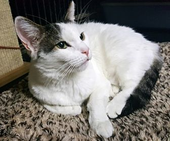 Domestic Shorthair Cat for adoption in Pasadena, California - Puddy