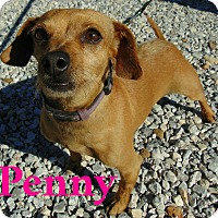 Adopt A Pet :: Penny - Mountain View, AR