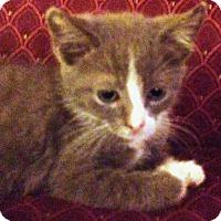 Domestic Shorthair Kitten for adoption in York, Pennsylvania - Junebug