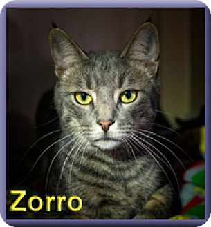 Domestic Shorthair Cat for adoption in Aldie, Virginia - Zorro