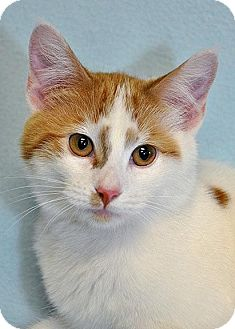 Domestic Shorthair Cat for adoption in Fort Leavenworth, Kansas - Dolce