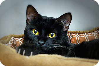 Domestic Shorthair Cat for adoption in Casa Grande, Arizona - Shaunaenae