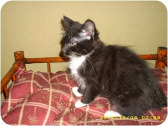 Domestic Mediumhair Kitten for adoption in Wilmington, Delaware - Chris