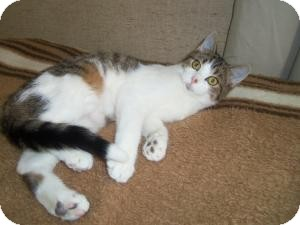 Domestic Shorthair Cat for adoption in Medford, Wisconsin - GRETCHEN(ADOPTION ONLY $40)