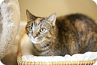 Domestic Shorthair Cat for adoption in Chicago, Illinois - Shimmy