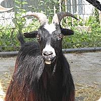 Goat for adoption in Woodstock, Illinois - Jenkins