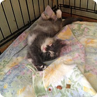 Adopt A Pet :: grey kitten - Orillia, ON