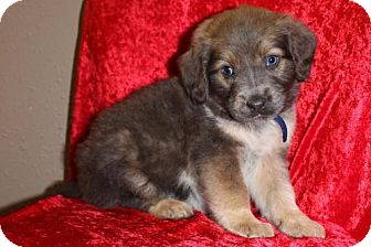 Australian Shepherd Mix Puppy for adoption in Saddle Brook, New Jersey - MCLAREN