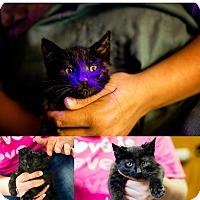Adopt A Pet :: Spock NO FEE Glow Kitty - Fredericksburg, VA