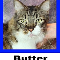 Maine Coon Cat for adoption in Plano, Texas - Butter