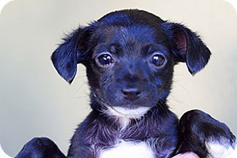 Terrier (Unknown Type, Medium) Mix Puppy for adoption in Studio City, California - Bella
