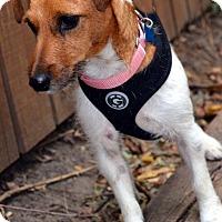 Adopt A Pet :: Jackie - Bridgeton, MO