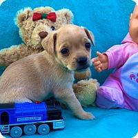 Adopt A Pet :: Choo Choo - Irvine, CA