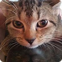 Adopt A Pet :: Tawny - Palatine, IL
