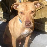 Pit Bull Terrier/German Shepherd Dog Mix Dog for adoption in Darien, Georgia - Karson