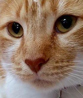 Domestic Shorthair Cat for adoption in Tucson, Arizona - Sansa