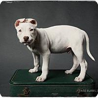 Adopt A Pet :: Phoenix - Greensboro, NC