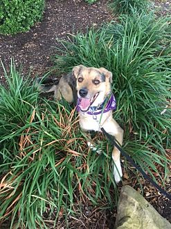 Shepherd (Unknown Type) Mix Dog for adoption in Ardmore, Oklahoma - Merlin