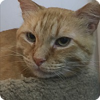 Domestic Shorthair Cat for adoption in Greensburg, Pennsylvania - Christopher