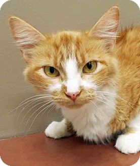 Domestic Mediumhair Cat for adoption in Plainfield, Illinois - ADOPTED!!!   Lizzie