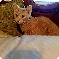 Adopt A Pet :: LION - Hampton, VA