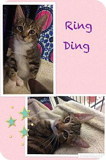 Domestic Shorthair Kitten for adoption in Camden, Delaware - Ring Ding
