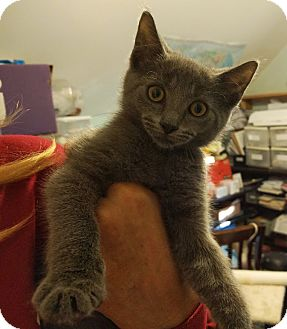 Russian Blue Kitten for adoption in Philadelphia, Pennsylvania - Rosie