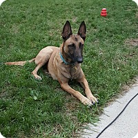 Belgian Malinois Mix Dog for adoption in Fort Atkinson, Wisconsin - Ally
