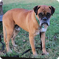 Boxer Dog for adoption in Portland, Maine - ALBUS WOOF-RED DUMBLEDORE