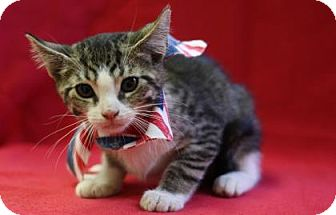 Domestic Shorthair Kitten for adoption in Voorhees, New Jersey - Pepsi