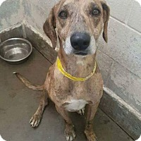 Catahoula Leopard Dog/Great Dane Mix Dog for adoption in Staunton, Virginia - Mason