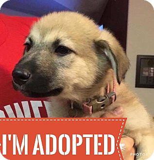 Husky/Shepherd (Unknown Type) Mix Puppy for adoption in Regina, Saskatchewan - Hera