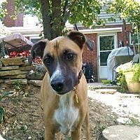 Adopt A Pet :: Jessie the Boxer - Cincinnati, OH