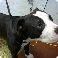 Adopt A Pet :: CHECKERS - Atlanta, GA