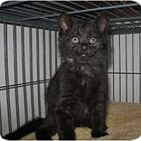 Adopt A Pet :: Panther - Shelton, WA