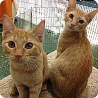 Adopt A Pet :: Finn - Chandler, AZ