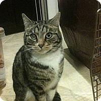 Adopt A Pet :: Socks - Temecula, CA